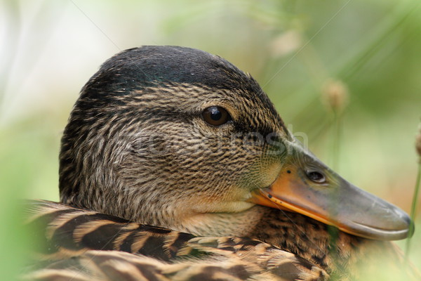 closeup portrait of a mallard duck Stock photo © taviphoto