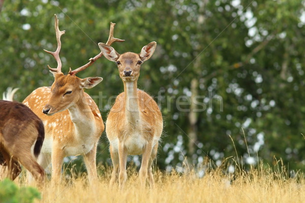 male and female fallow deers Stock photo © taviphoto