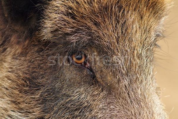 closeup of a wild boar Stock photo © taviphoto