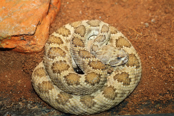 western rattlesnake basking in terrarium Stock photo © taviphoto