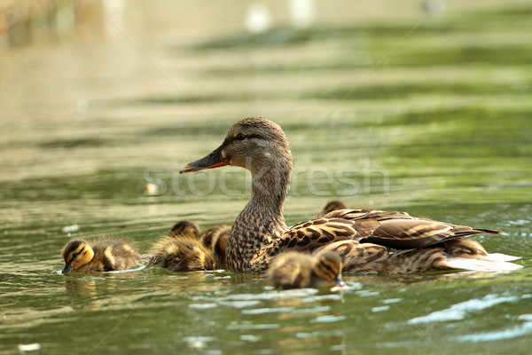 mother duck with babies Stock photo © taviphoto