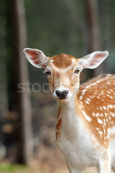 portrait of a fallow deer hind Stock photo © taviphoto