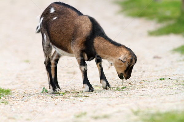 young goat eating grass on farm alley  Stock photo © taviphoto