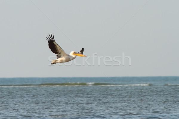 great pelican in flight over sea Stock photo © taviphoto