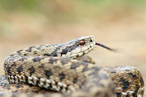 dangerous european snake Stock photo © taviphoto