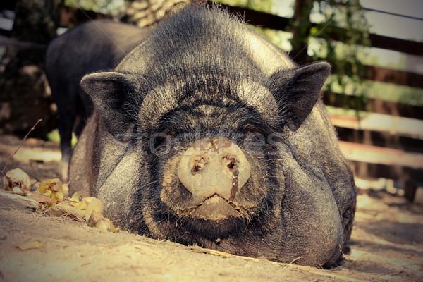 ленивый свинья землю bio фермы Сток-фото © taviphoto