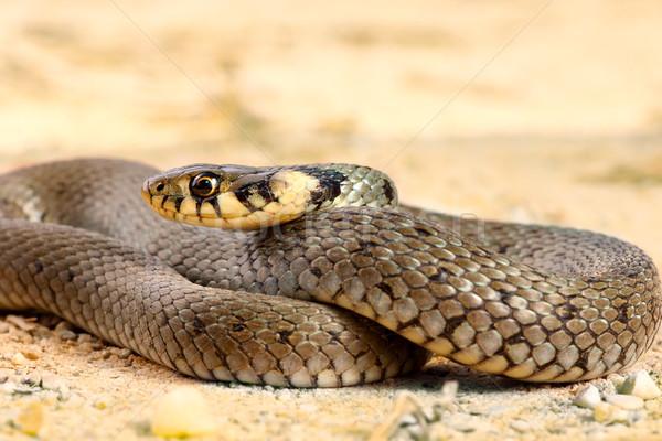 Trawy węża nieletni oka twarz Zdjęcia stock © taviphoto