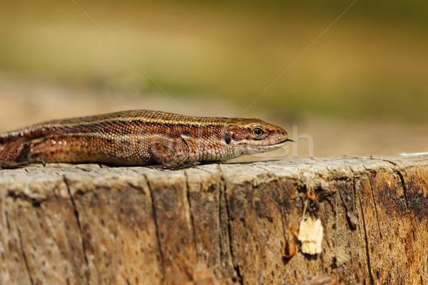 Zootoca vivipara on tree stump Stock photo © taviphoto