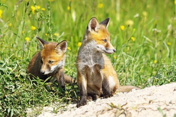 Fox младенцы европейский красный Постоянный семьи Сток-фото © taviphoto