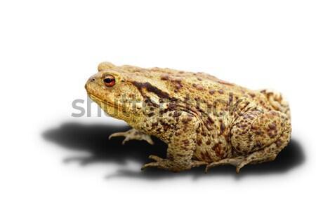 Varangy fehér árnyék felnőtt vadállat bőr Stock fotó © taviphoto
