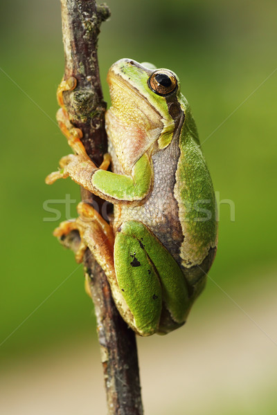 cute european tree frog climbing on twig Stock photo © taviphoto