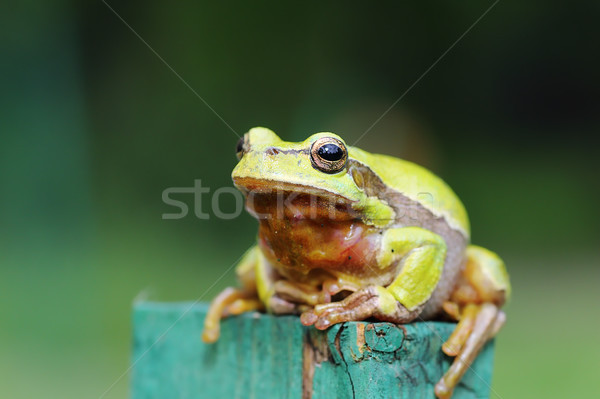 full length image of green tree frog Stock photo © taviphoto