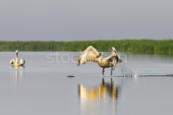 dalmatian pelican taking flight from pond Stock photo © taviphoto