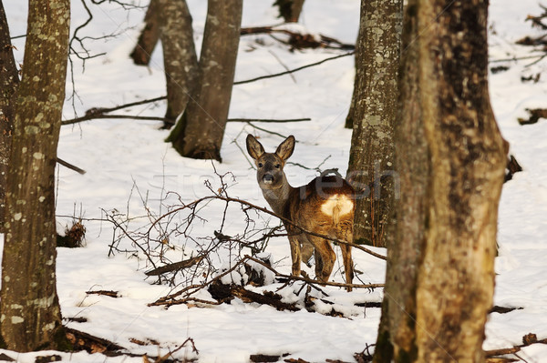 roe deer in winter natural habitat Stock photo © taviphoto