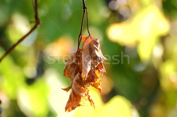 sere leaf in a vineyard Stock photo © taviphoto