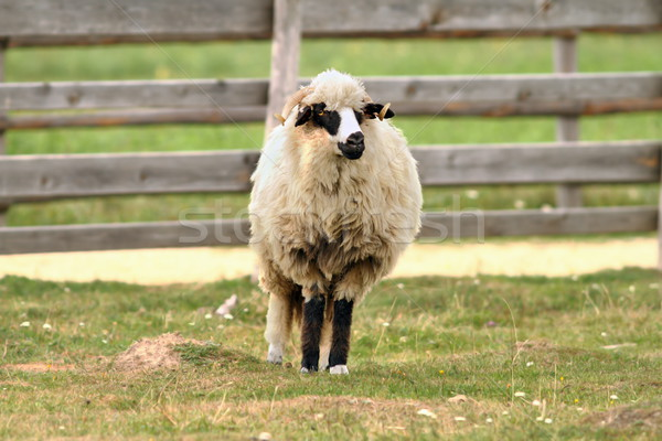 old sheep standing on farm yard Stock photo © taviphoto
