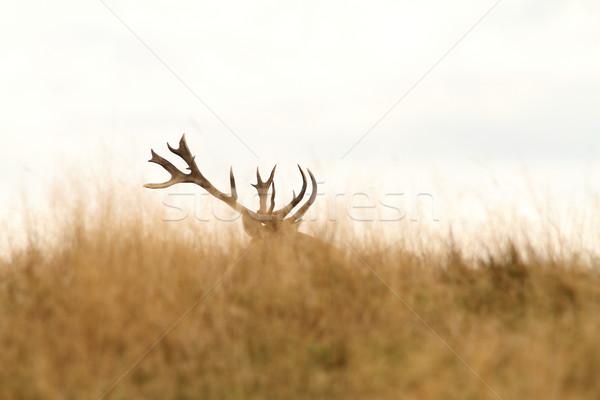 red deer big trophy Stock photo © taviphoto