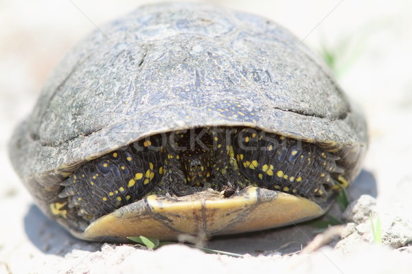 shy european pond turtle Stock photo © taviphoto