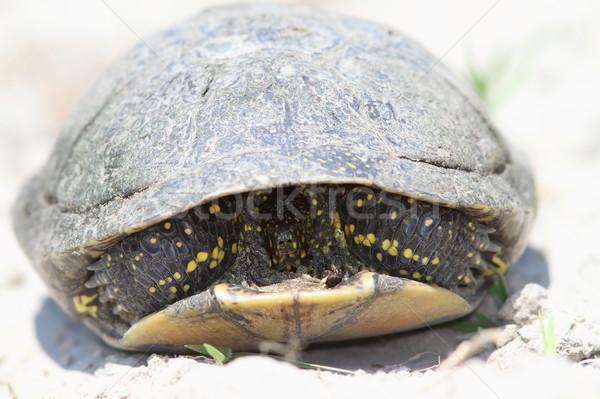Timide européenne étang tortue plage de sable Photo stock © taviphoto