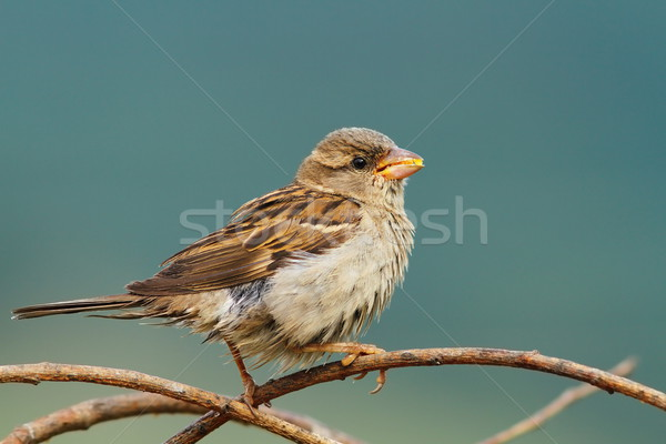 female house sparrow eating seeds Stock photo © taviphoto