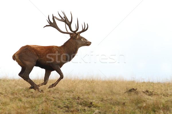 red deer buck running on clearing Stock photo © taviphoto