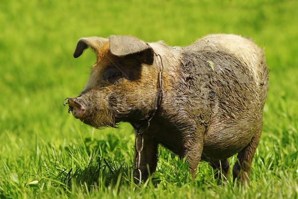 Sáros disznó gyep zöld farm fű Stock fotó © taviphoto