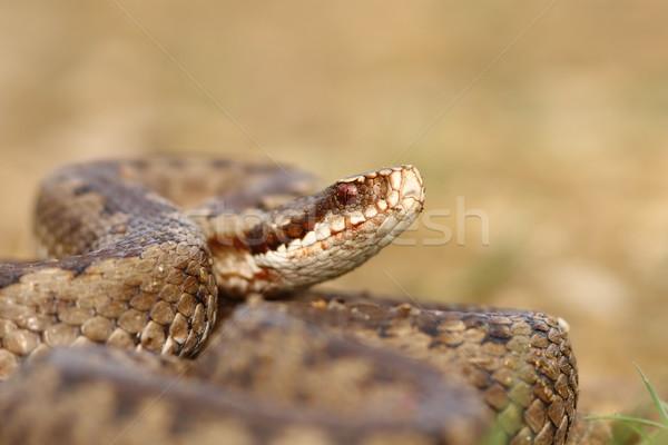 portrait of common crossed viper Stock photo © taviphoto