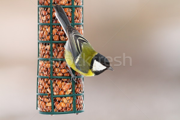 great tit hanging on peanut feeder Stock photo © taviphoto