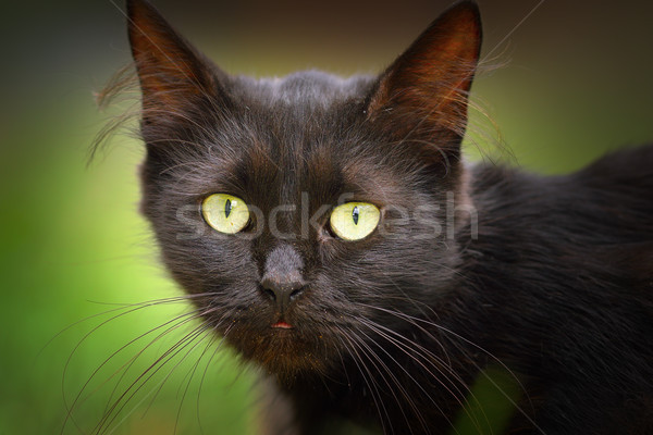 cute black cat face Stock photo © taviphoto
