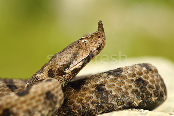 close-up of female nosed viper Stock photo © taviphoto