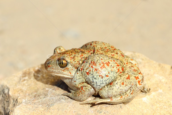 full length image of garlic toad Stock photo © taviphoto