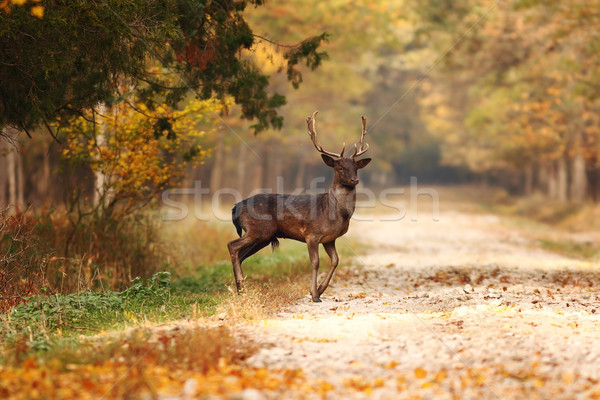 beautiful fallow deer stag in autumn woods Stock photo © taviphoto