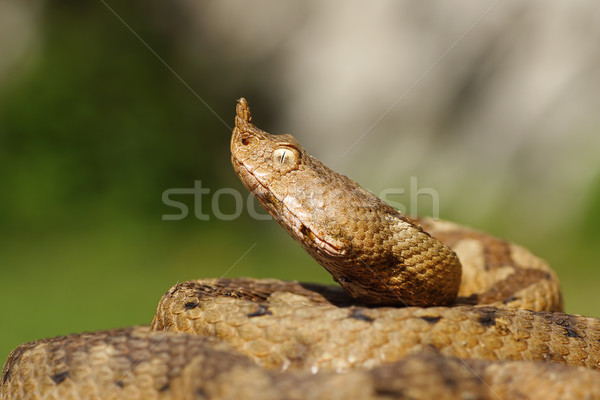 Portrait agressif venimeux serpent nez nature Photo stock © taviphoto