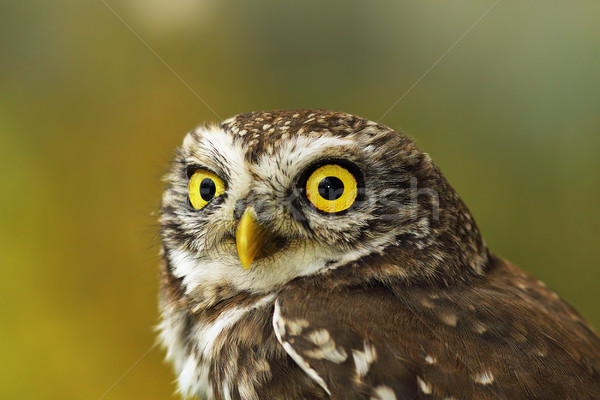 portrait of cute little owl with bokeh Stock photo © taviphoto
