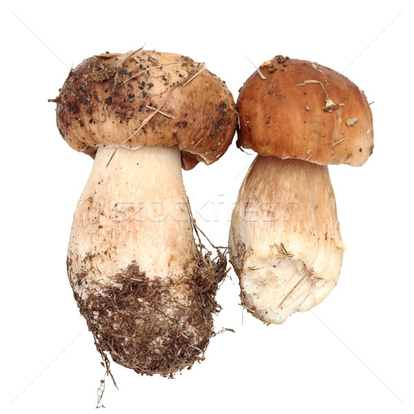 two fresh fungi porcini Stock photo © taviphoto