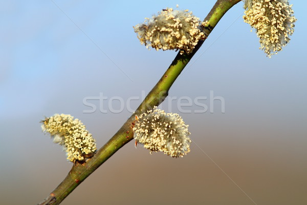 willow buds Stock photo © taviphoto