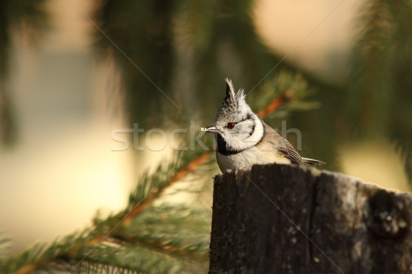 crested tit eating bread Stock photo © taviphoto