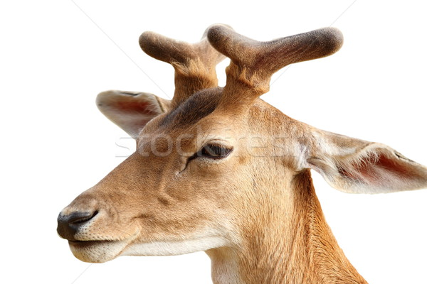 fallow deer stag isolated on white Stock photo © taviphoto