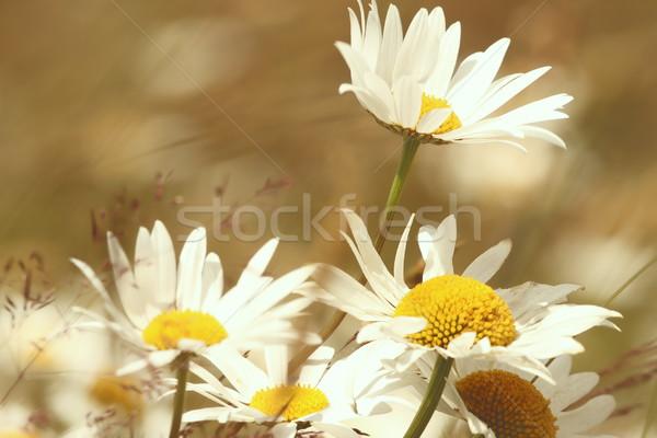 daisies Stock photo © taviphoto