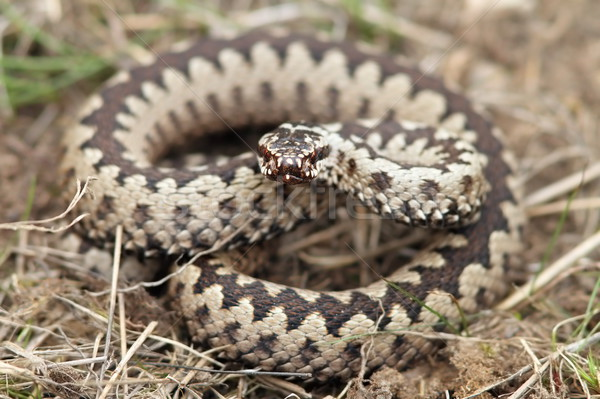 male common adder  Stock photo © taviphoto