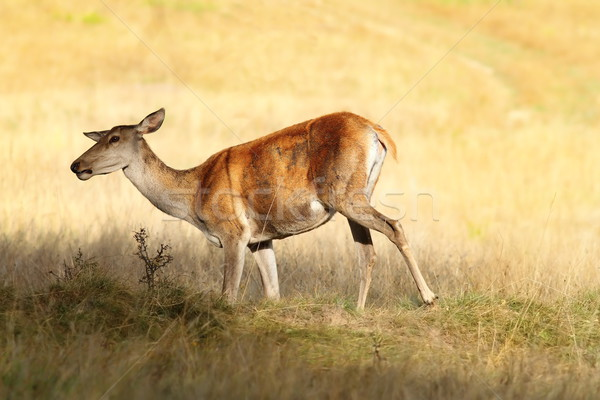 red deer female on meadow Stock photo © taviphoto