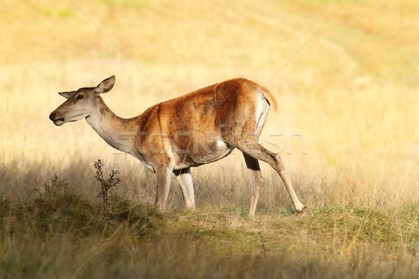 Rouge cerfs Homme prairie forêt domaine Photo stock © taviphoto