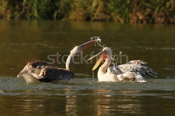 two juvenile great pelicans splashing each other Stock photo © taviphoto