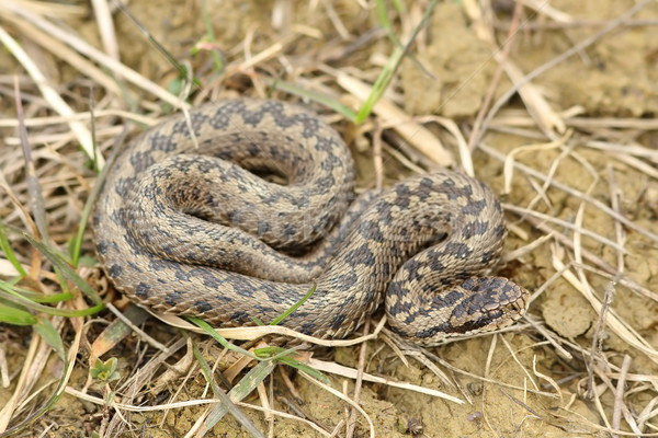 Naturelles habitat prairie serpent animaux Europe Photo stock © taviphoto