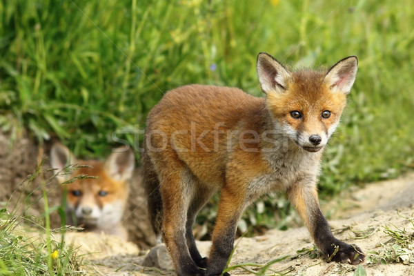 curious fox cub near the burrow Stock photo © taviphoto