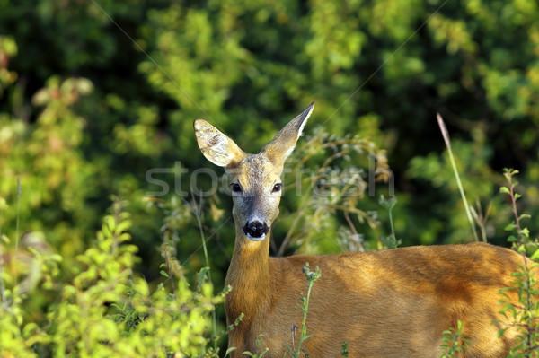 Portré vad ikra szarvas erdő baba Stock fotó © taviphoto