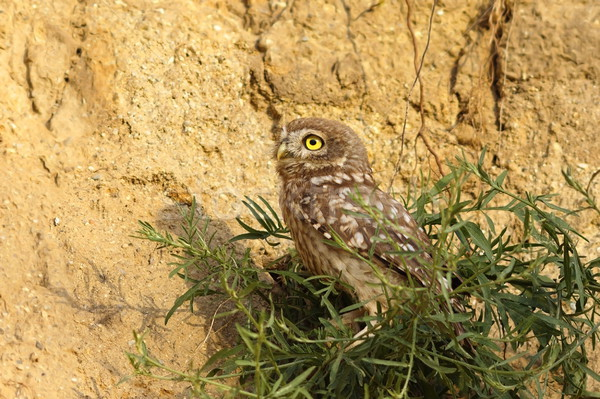little owl on clay wall Stock photo © taviphoto