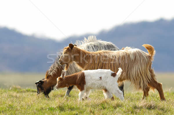 Kecske család sétál legelő hegy baba Stock fotó © taviphoto