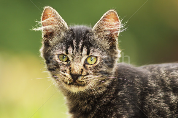 cute fluffy young cat portrait Stock photo © taviphoto