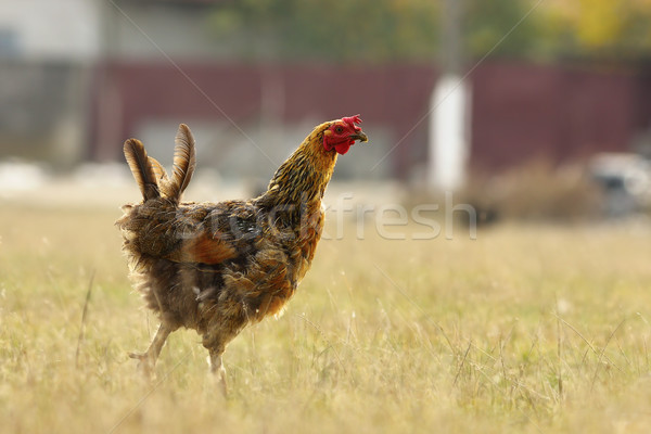 funny hen on meadow Stock photo © taviphoto